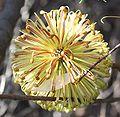 Banksia laricina flwr Moore Rvr NP email.jpg