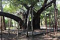 Banyan Tree (6708442469).jpg