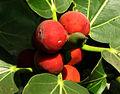 Banyan fruits.jpg
