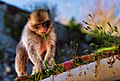 Barbary Macaque on a Gibraltar rooftop.jpg