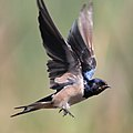 Barn swallow at Marievale Nature Reserve (36874830442).jpg