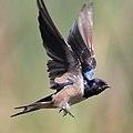 Barn swallow at Marievale Nature Reserve (36874830442).jpg