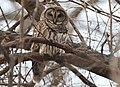 Barred Owl (16022579448).jpg