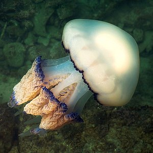 Barrel jellyfish (Rhizostoma pulmo) (25515589773).jpg