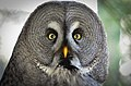 Bartkauz (Strix nebulosa) - Weltvogelpark Walsrode 2012-001.jpg