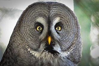 Weltvogelpark Walsrode - Image: Bartkauz (Strix nebulosa) Weltvogelpark Walsrode 2012 001