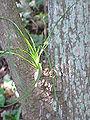 Beaucarnea pliabilis0.jpg
