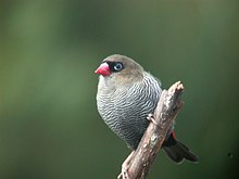 Beautiful firetail.JPG