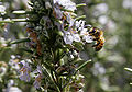 Bee on rosemary.jpg