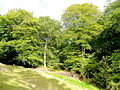 Beeches of the Forest of Dean - geograph.org.uk - 1511106.jpg