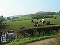 Beef Cattle - geograph.org.uk - 261889.jpg