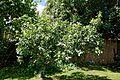 Beer garden apple tree at the The Queen's Head, Boreham, Essex, England.jpg