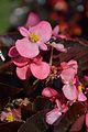 Begonia semperflorens - Alipore - Kolkata 2013-02-10 4786.JPG