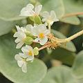 Begonia venosa-IMG 4459.jpg