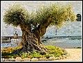 Beit Jamal, Ancient Olive Tree, over 2K years old - Flickr - Flavio~.jpg