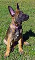 Belgian Malinois at 10 weeks photo D Ramey Logan.jpg