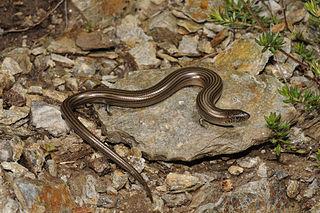 Western three-toed skink Species of reptile