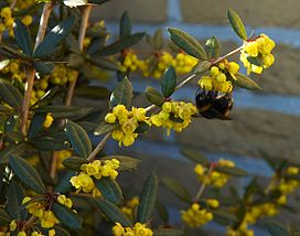 Berberis julianae B.jpg