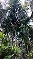 Betel nut palms in Ponda, Goa.jpeg