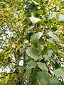 Betula pendula (24).JPG