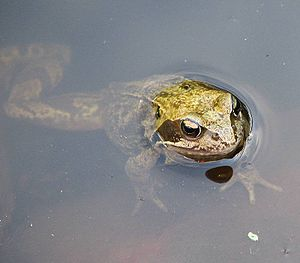Poikilotherm - The common frog is a poikilotherm and is able to function over a wide range of body core temperatures.