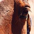 Big Brown Eye (2496204303).jpg