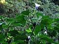 Big Patch of Jimson Weed (29032508112).jpg