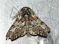 Biston strataria ♂ - Oak beauty (male) - Пяденица-шелкопряд тополёвая (самец) (26049002107).jpg