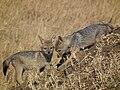 Black-backed Jackal Canis mesomelas in Tanzania 3514 Nevit.jpg