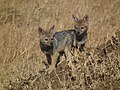 Black-backed Jackal Canis mesomelas in Tanzania 3515 Nevit.jpg