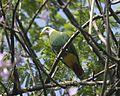 Black-naped Fruit-Dove (Ptilinopus melanospilus) - Flickr - Lip Kee.jpg