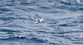 Black-naped Tern (Sterna sumatrana) (31217399912).jpg