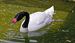 Black-necked Swan Cygnus melancoryphus Swimming 1965px.jpg