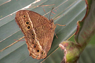 <i>Neope</i> genus of insects