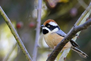 Black-throated bushtit - Image: Black throated Tit 1
