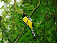 Black-throated Trogon 1.jpeg