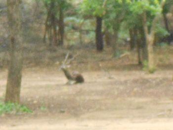 Black Buck in Guindy National Park.jpg