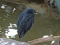 Black Heron RWD.jpg