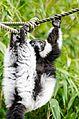 Black and white Ruffed Lemur (21981389753).jpg