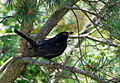Blackbird -13June2007-8.jpg