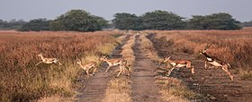 Blackbucks in Blackbuck National Park 05.jpg