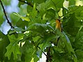 Blackburnian Warbler (almost got THE shot, but not quite - not yet) (34454071081).jpg