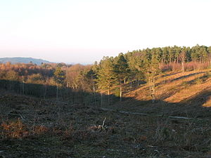 Blackdown, West Sussex - Pine trees cleared and thinned to restore heathland