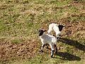 Blackface lambs - geograph.org.uk - 157657.jpg