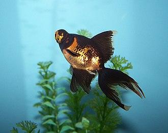 Telescope (goldfish) - A partially gold black telescope
