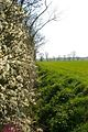 Blackthorn, Ditch and Path - geograph.org.uk - 384379.jpg