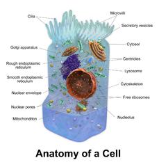 Τα βασικά συστατικά ενός ζωϊκού κυττάρου.