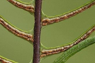 Blechnum spicant - Image: Blechnum.spicant.2