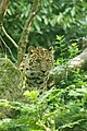Blijdorp - Panthera pardus orientalis.jpg