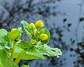 Bloemknoppen van Caltha palustris 16-04-2020 (d.j.b.) 02.jpg